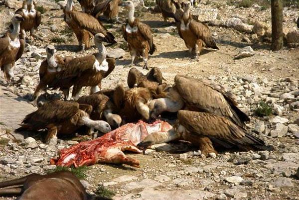 UPA-COAG pide un descaste urgente de buitres para reducir su población