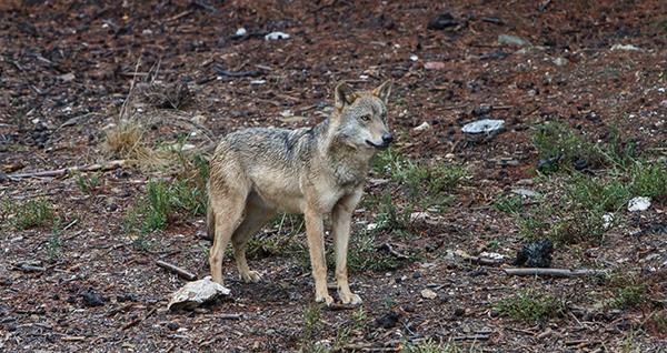 Un Centro del Lobo como elemento fundamental de la biodiversidad de la Península
