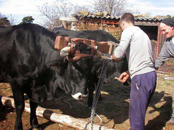 La Diputación concede 11 ayudas para fomentar la vaca serrana negra