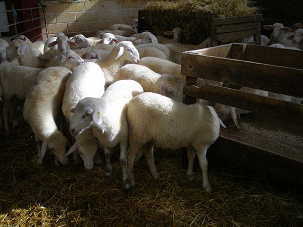 El orujo de uva tiene efectos positivos en la alimentación del ganado ovino