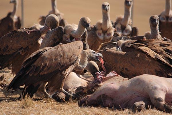 La Junta habilita un periodo extraordinario para alimentar a las especies necrófagas de la Comunidad