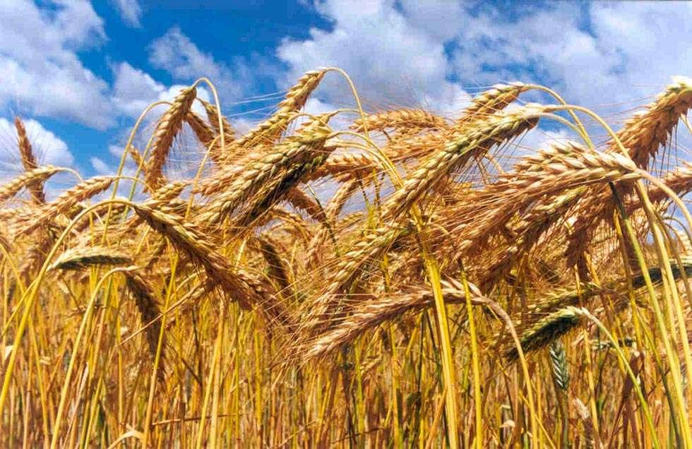 UPA-COAG denuncia que, a pesar de la buena campaña cerealista, no habrá rentabilidad