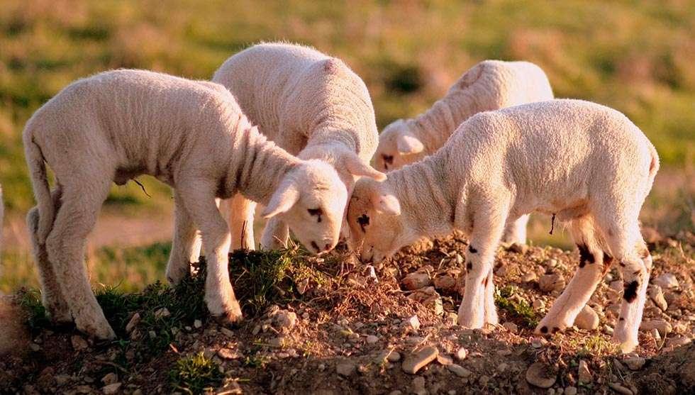 """La """"operación Lechazo"""" descubre la venta de 15.000 corderos franceses como españoles"""