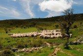 Tierras Altas despide a los pastores trashumantes