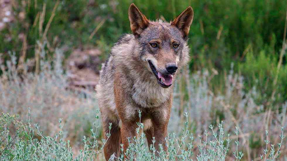 """COAG considera """"lamentable"""" la anulación del Plan de gestión del lobo"""