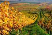 Ayudas para la reconversión del viñedo en la Comunidad