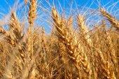 ASAJA vaticina una campaña cerealista a la baja