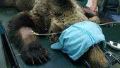 Muere el oso pardo hallado en municipio leonés