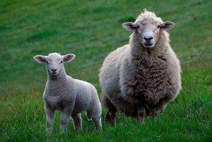 Tres programas sanitariospara mejorar la competitividad de la cabaña ovina y caprina