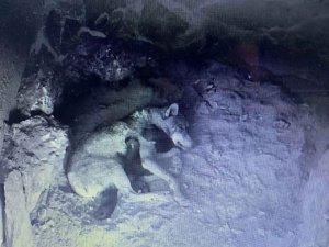 Cuatro nuevos lobeznos para el Centro del Lobo Ibérico