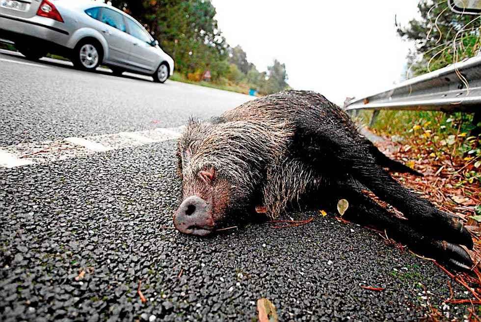 Un problema que crece: los accidentes de tráfico provocados por animales