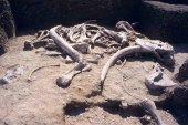 El Numantino investiga los restos óseos del yacimiento de Ambrona
