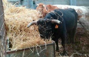 Sorteo para ayudar a la única ganadería de toros bravos de Soria